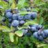 Wino z tarniny, poziomek, malin